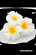 PLUMERIA alba dekoratívne kvety